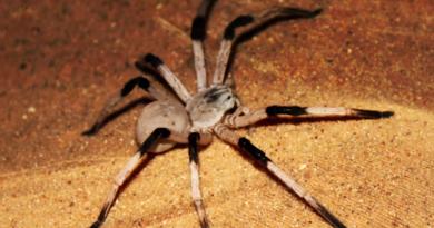 Giant Florida Cane Spider and Its Basics